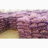Продам картоплю опт 22 тонни