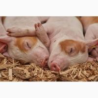 Продам свиней, 100 кг