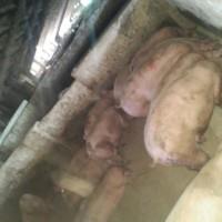 Продам живых свиней