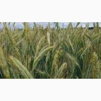 Семена ржи (жито) озимой Хлебное
