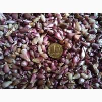 Продам насіння сорту часнику Любаша
