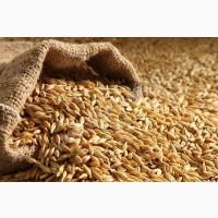 Закуповуємо ячмінь, пшеницю по Ф1
