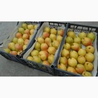 Продам грушу яблунівську