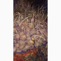 Продам семенной картофель сорт Гала, к.анна, санте, цифра, белороса лабелла