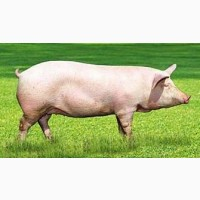 Закуповуємо свиней живою вагою