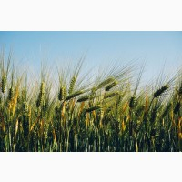 Семена озимого ячменя Хайди - 1реп. (250-270 дней)