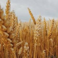 Пшеница озимая Дума Одесская