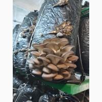 Продам гриби вишенка (глива) Біла Церква, Тетіїв, Володарка, Тараща, Сквира, Узин
