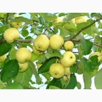 Продам яблука сортів - Ізольда, Сніговий Кальвіль, Чемпіон, Еліза, Флоріна
