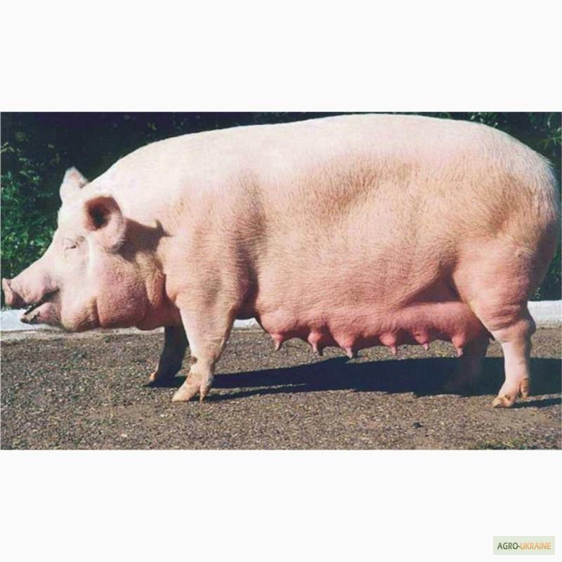 Секс са свиней 4 фотография