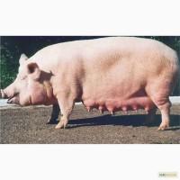 Поросята свинки и кабанчики - породы ландрас