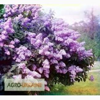 Сирень обыкновенная, цвет.Бузок звичайний, цвіт