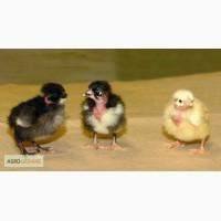 Цыплята мясо-яичная порода Доминант, Фокси Чик, Мастер Грей, , бройлеры КООБ-500 ( Венгрия)