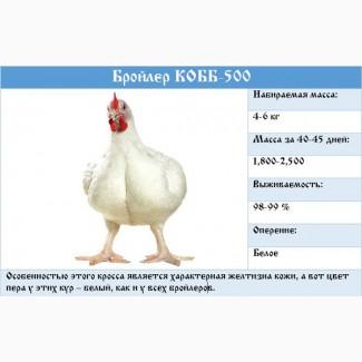 Цыплята бройлеры КООБ-500 (Польша, Чехия), Доминант, Мастер Грей, индюшата