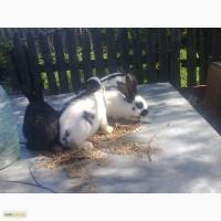 Продам кроликов немецкий пестрый великан