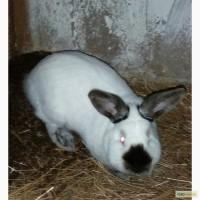 Кролі, кролики, Каліфорнія