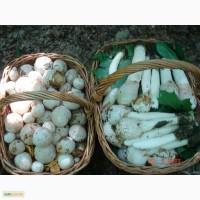 Гриб весёлка: настойка, свежие и сухие яйца, порошок, фермент. сок, и др