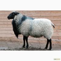 Куплю Романовских овец