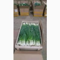 Продам зеленый лук(Штудгарден) от 50кг в день
