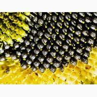 Насіння соняшнику від виробника