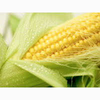 Продам гибрид кукурузы МОНИКА 350 МВ (мешок-25 кг)