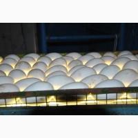 Продам гусиные яйца для инкубации