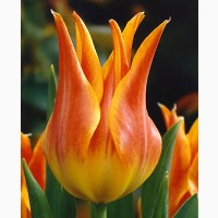 Луковица тюльпана оптом Haakman Flowerbulbs