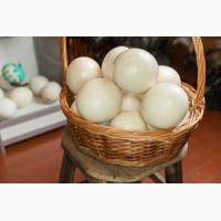 Продам свежие яйца африканского страуса