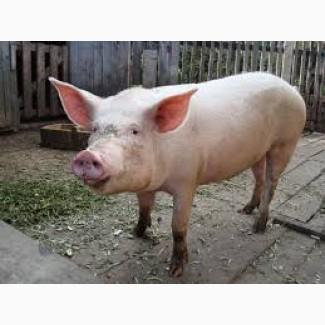 Продам свинину живьём и на 4 части