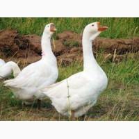Утята Мулард, гуси, несушки, цыплята бройлеры