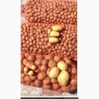 Продам картофель Кубанка Импала Ривьера