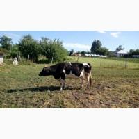 Продам молочную корову