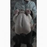 Індичата добові, яйце інкубаційне ( білі широкогруді) BIG 6 доставка любий регіон України