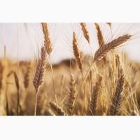Купим пшеницу фураж 100-200Т