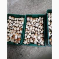 Білі свіжі гриби