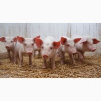 Продам поросята м#039;ясних порід ( свині )