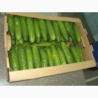 Реалізуємо оптом від 3т огірки свіжі