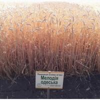 Пшениця Мелодія одеська від Селекційно-генетичний інститут
