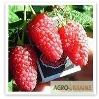 Продажа саженцев малины от 3 грн. от производителя.Доставка. Качество