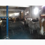 Продам лошадей на держание