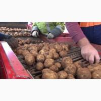 Картофель оптом из Беларуси