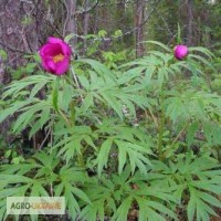Пион уклоняющийся, или марьин корень (трава) 50 грамм