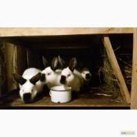 Продам кролів породи Каліфорнія, 3, 5 місяці