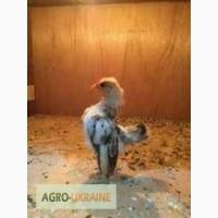 Подрощенные цыплята Малазийской Серамы