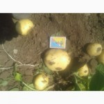 Продам товарный картофель первого урожая сорт Ривьера