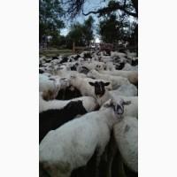 Овцы, коровы, бычки, козы сразу в одном месте
