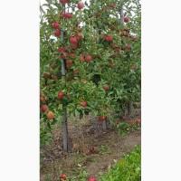 Продам яблука різних сортів, високої якості