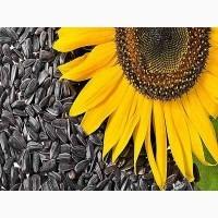 Граснстаростійке насіння соняшнику Карат