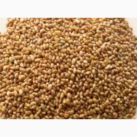Продам семена ЛЮЦЕРНЫ, КЛЕВЕР в большом и малом объеме по хорошей цене