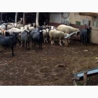 Продам маточное поголовье овец, романовской породы